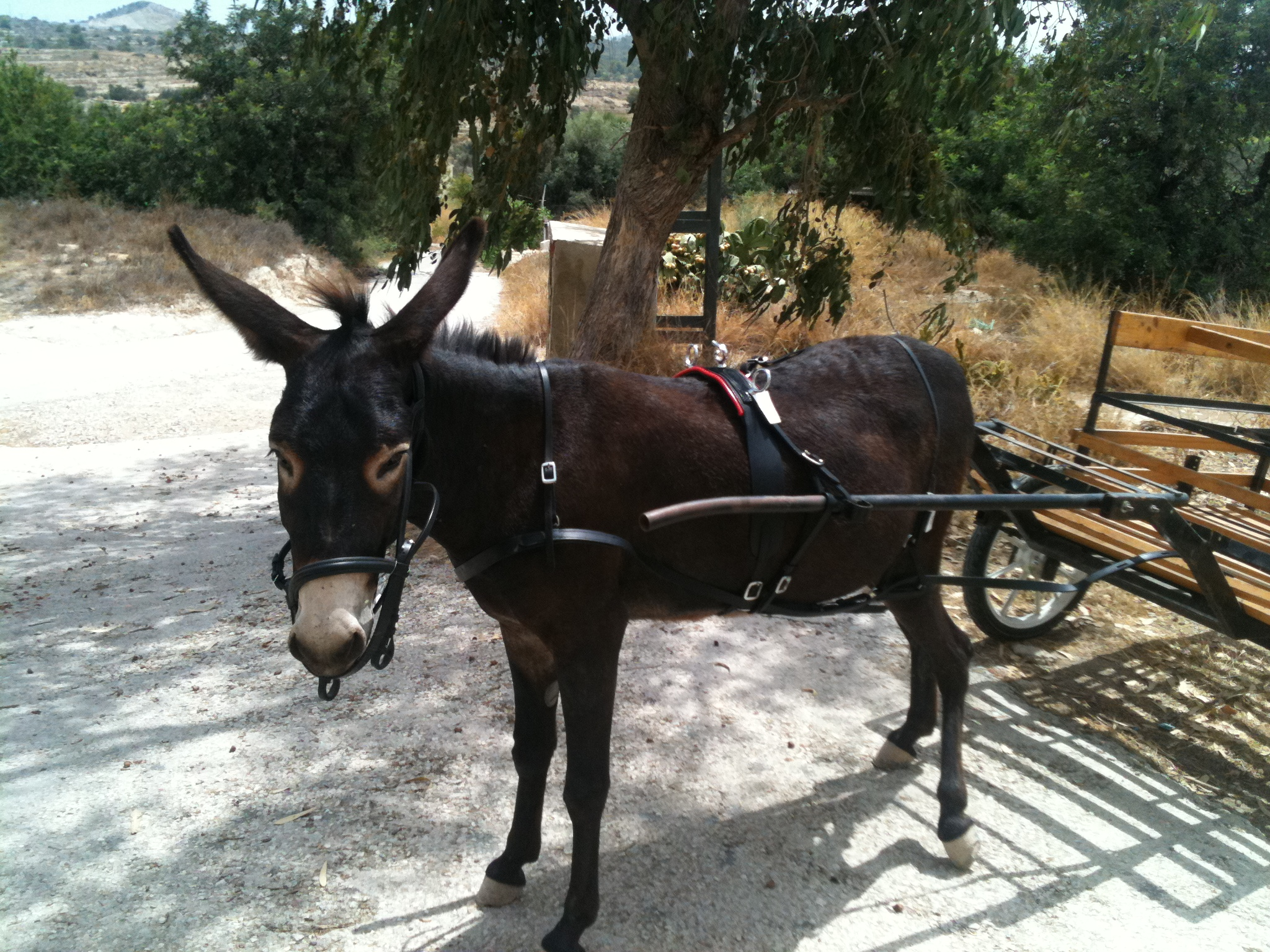 Miniature donkey cart