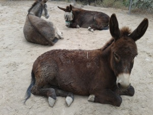 Donkey weeding 011