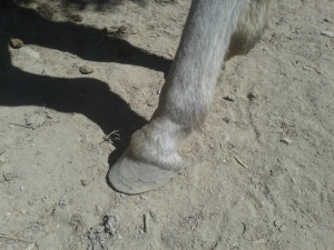 The left hoof of Matilde after trim (compare with photo at the top - same hoof). A very neat job by Cristian.