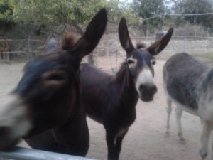 Donkeys queuing up for figs: only one fig each, or it all gets very messy