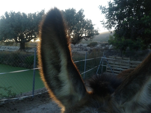 Donkey ear in the sunset (Matilde)