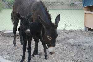 Morris on 1st October 2011 pictured with Rubí half an hour after being born