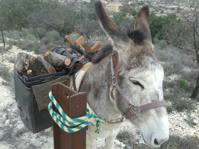 Pause for praise and encouragement, photo call for working donkey  with Puig Campana in the background