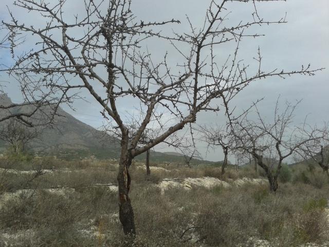 Dead almond tree