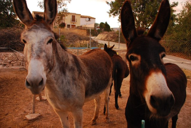 It is a quiet life with donkeys but every now and again somebody turns up to try and wreck it