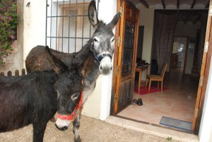 Matilde looks grey-faced after arrival in horse box, delivered from Parcent with Rubí in March 2011