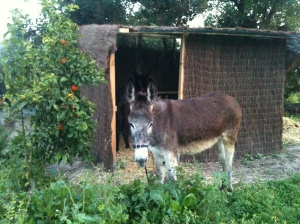 Grey shades of Matilde with her new grey stable made of brushwood which she would soon enjoy eating.